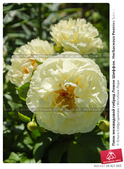 Купить «Пион межвидовой гибрид Лемон Шиффон. Herbaceous Peonies 'Lemon Chiffon' in flower», фото № 28421065, снято 18 июня 2017 г. (c) Ольга Сейфутдинова / Фотобанк Лори