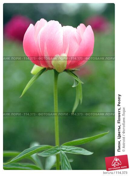 Пион, Цветы, Flowers, Peony, фото № 114373, снято 14 июня 2005 г. (c) Astroid / Фотобанк Лори