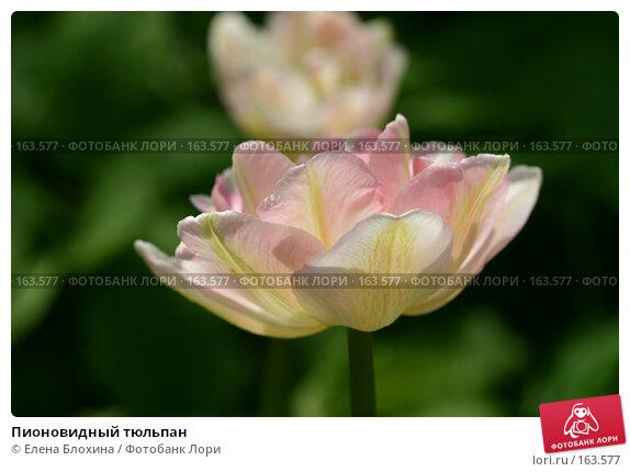 Пионовидный тюльпан, фото № 163577, снято 16 мая 2007 г. (c) Елена Блохина / Фотобанк Лори
