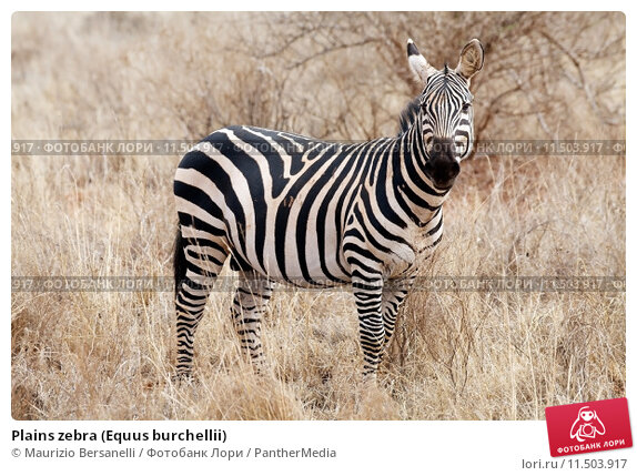 an analysis of male infanticide in captive plains zebra Zebra: plains from african the time of weaning of the previous offspring of captive plains zebra in incidence of male infanticide within subspecies of plains.