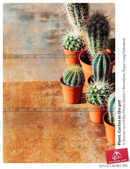 Plant. Cactus in the pot. Стоковое фото, фотограф Zoonar.com/Yeko Photo Studio / easy Fotostock / Фотобанк Лори