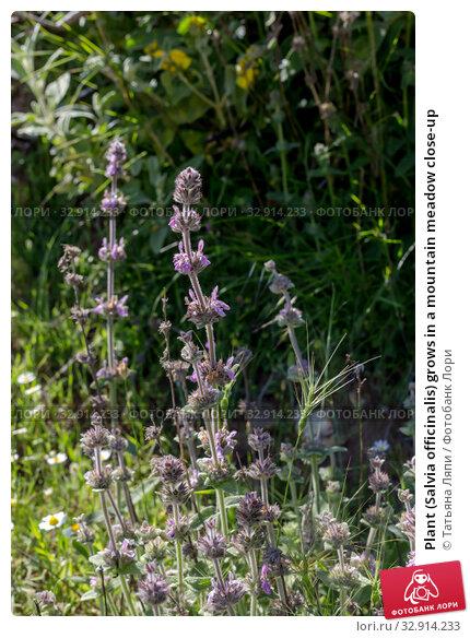 Plant (Salvia officinalis) grows in a mountain meadow close-up. Стоковое фото, фотограф Татьяна Ляпи / Фотобанк Лори