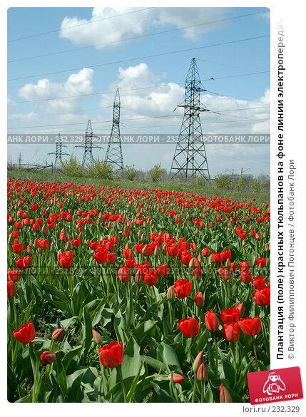 Плантация (поле) красных тюльпанов на фоне линии электропередачи (ЛЭП), фото № 232329, снято 18 апреля 2004 г. (c) Виктор Филиппович Погонцев / Фотобанк Лори