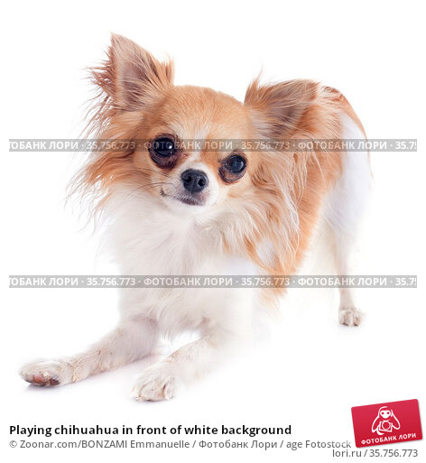 Playing chihuahua in front of white background. Стоковое фото, фотограф Zoonar.com/BONZAMI Emmanuelle / age Fotostock / Фотобанк Лори