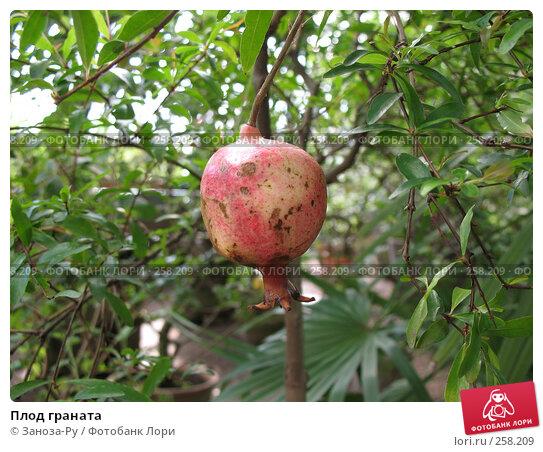 Плод граната, фото № 258209, снято 12 апреля 2008 г. (c) Заноза-Ру / Фотобанк Лори
