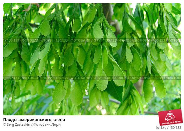 Плоды американского клена, фото № 130133, снято 20 июня 2004 г. (c) Serg Zastavkin / Фотобанк Лори