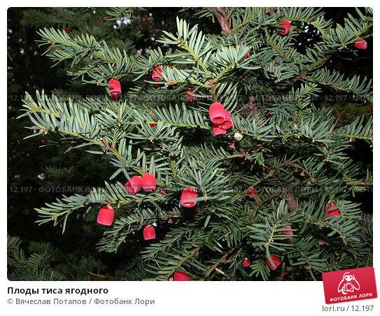 Плоды тиса ягодного, фото № 12197, снято 18 октября 2005 г. (c) Вячеслав Потапов / Фотобанк Лори