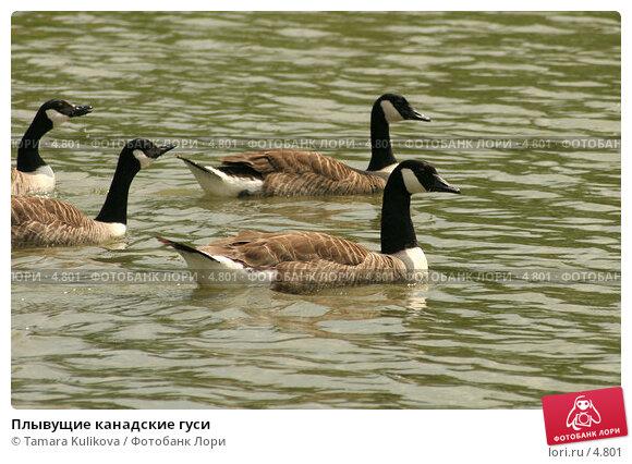 Плывущие канадские гуси, фото № 4801, снято 17 июня 2006 г. (c) Tamara Kulikova / Фотобанк Лори
