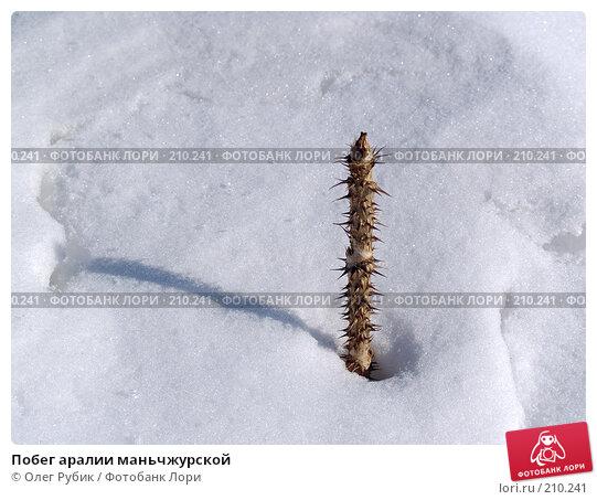 Купить «Побег аралии маньчжурской», фото № 210241, снято 24 февраля 2008 г. (c) Олег Рубик / Фотобанк Лори