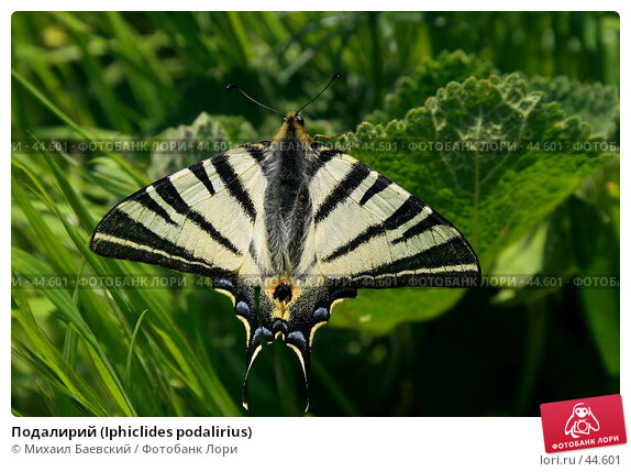 Подалирий (Iphiclides podalirius), фото № 44601, снято 13 мая 2007 г. (c) Михаил Баевский / Фотобанк Лори