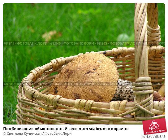 Подберезовик обыкновенный Leccinum scabrum в корзине, фото № 68845, снято 29 июня 2017 г. (c) Светлана Кучинская / Фотобанк Лори