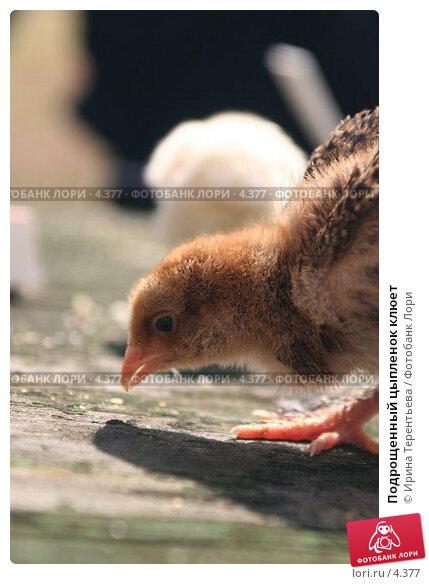 Подрощенный цыпленок клюет, эксклюзивное фото № 4377, снято 8 мая 2006 г. (c) Ирина Терентьева / Фотобанк Лори