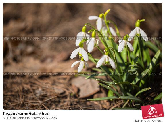Купить «Подснежник Galanthus», фото № 29728989, снято 15 апреля 2018 г. (c) Юлия Бабкина / Фотобанк Лори