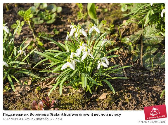 Купить «Подснежник Воронова (Galanthus woronowii) весной в лесу», фото № 25940301, снято 6 апреля 2017 г. (c) Алёшина Оксана / Фотобанк Лори