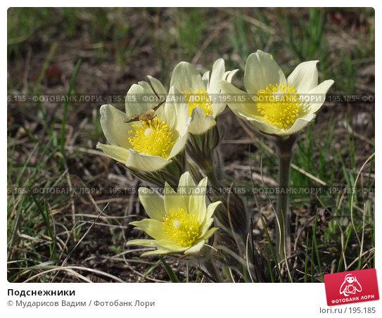 Подснежники, фото № 195185, снято 25 апреля 2005 г. (c) Мударисов Вадим / Фотобанк Лори