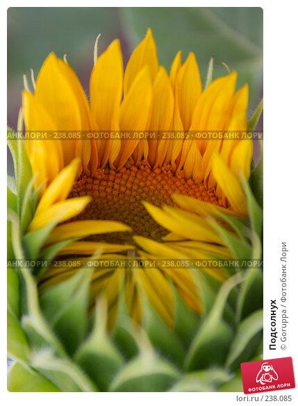 Подсолнух, фото № 238085, снято 28 июня 2007 г. (c) Goruppa / Фотобанк Лори
