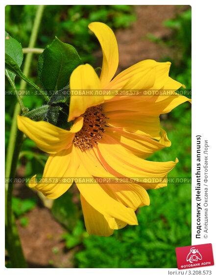 Купить «Подсолнух (Helianthus annuus)», эксклюзивное фото № 3208573, снято 8 июля 2010 г. (c) Алёшина Оксана / Фотобанк Лори