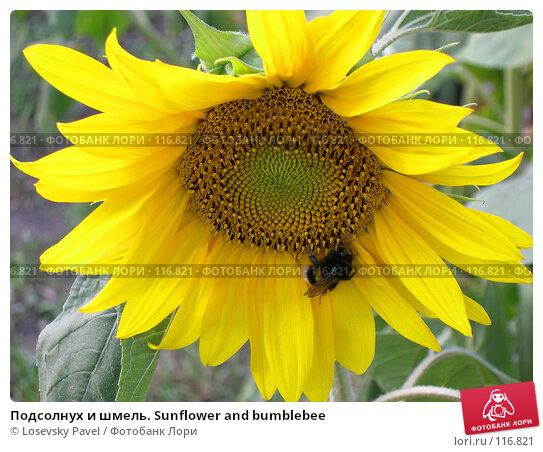 Подсолнух и шмель. Sunflower and bumblebee, фото № 116821, снято 3 августа 2003 г. (c) Losevsky Pavel / Фотобанк Лори