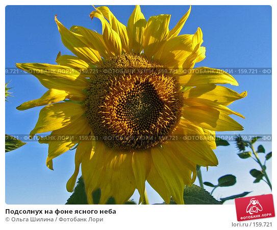 Подсолнух на фоне ясного неба, фото № 159721, снято 8 августа 2007 г. (c) Ольга Шилина / Фотобанк Лори