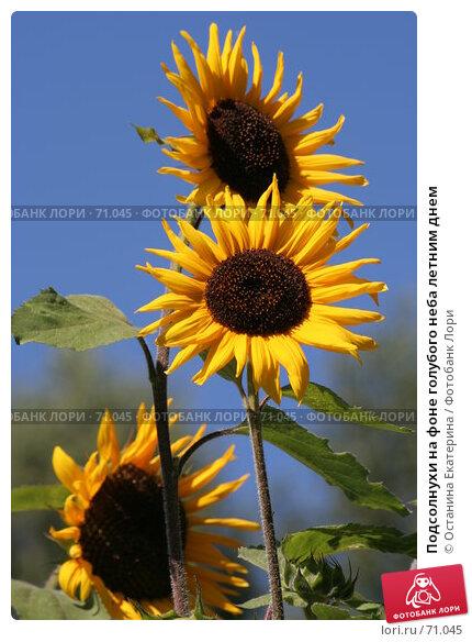 Подсолнухи на фоне голубого неба летним днем, фото № 71045, снято 12 августа 2007 г. (c) Останина Екатерина / Фотобанк Лори