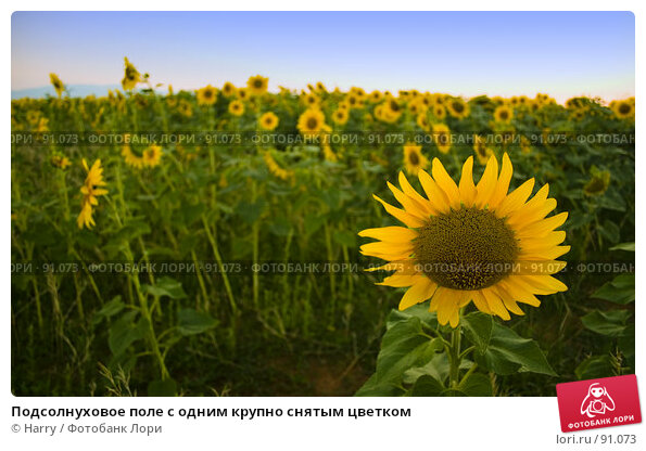 Подсолнуховое поле с одним крупно снятым цветком, фото № 91073, снято 17 августа 2007 г. (c) Harry / Фотобанк Лори