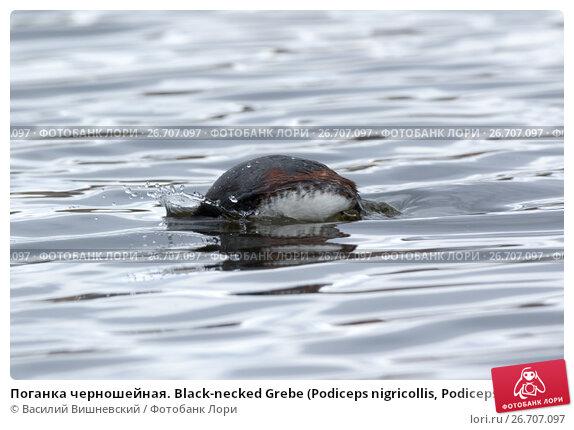 Купить «Поганка черношейная. Black-necked Grebe (Podiceps nigricollis, Podiceps caspicus).», фото № 26707097, снято 23 апреля 2017 г. (c) Василий Вишневский / Фотобанк Лори
