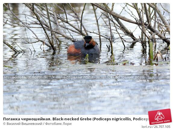 Купить «Поганка черношейная. Black-necked Grebe (Podiceps nigricollis, Podiceps caspicus).», фото № 26707105, снято 23 апреля 2017 г. (c) Василий Вишневский / Фотобанк Лори