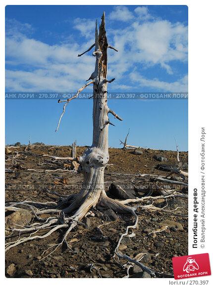 Купить «Погибшее дерево», фото № 270397, снято 2 мая 2008 г. (c) Валерий Александрович / Фотобанк Лори