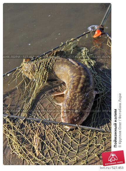 Купить «Пойманный налим», фото № 527453, снято 8 октября 2008 г. (c) Круглов Олег / Фотобанк Лори