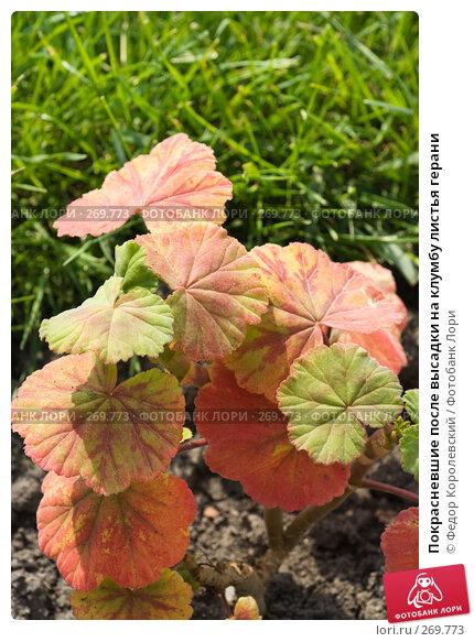 Купить «Покрасневшие после высадки на клумбу листья герани», фото № 269773, снято 1 мая 2008 г. (c) Федор Королевский / Фотобанк Лори