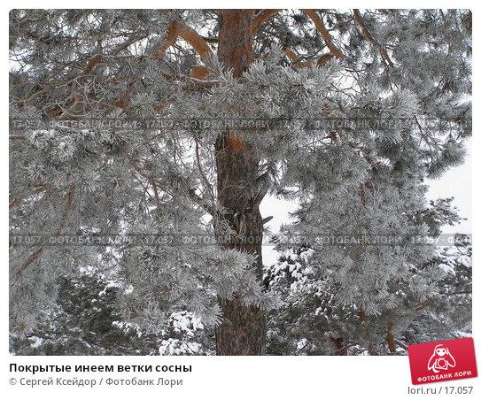 Покрытые инеем ветки сосны, фото № 17057, снято 25 января 2007 г. (c) Сергей Ксейдор / Фотобанк Лори