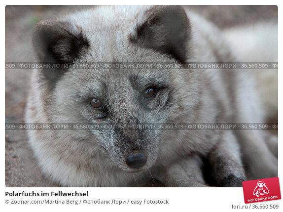 Polarfuchs im Fellwechsel. Стоковое фото, фотограф Zoonar.com/Martina Berg / easy Fotostock / Фотобанк Лори