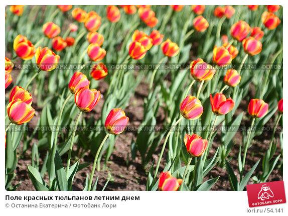 Поле красных тюльпанов летним днем, фото № 54141, снято 21 мая 2007 г. (c) Останина Екатерина / Фотобанк Лори