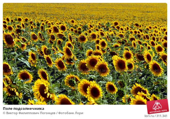 Купить «Поле подсолнечника», фото № 311341, снято 10 июля 2007 г. (c) Виктор Филиппович Погонцев / Фотобанк Лори