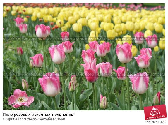 Поле розовых и желтых тюльпанов, эксклюзивное фото № 4325, снято 29 мая 2006 г. (c) Ирина Терентьева / Фотобанк Лори