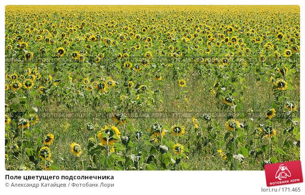 Купить «Поле цветущего подсолнечника», фото № 171465, снято 19 августа 2007 г. (c) Александр Катайцев / Фотобанк Лори