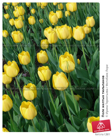 Поле желтых тюльпанов, эксклюзивное фото № 261, снято 10 мая 2004 г. (c) Ирина Терентьева / Фотобанк Лори