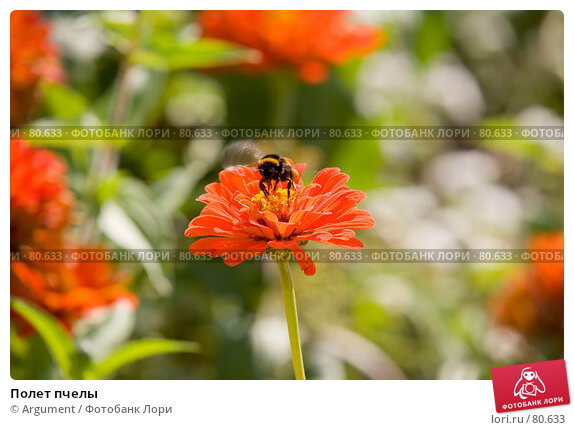 Полет пчелы, фото № 80633, снято 24 августа 2007 г. (c) Argument / Фотобанк Лори
