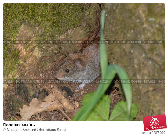 Полевая мышь, фото № 287029, снято 11 мая 2008 г. (c) Макаров Алексей / Фотобанк Лори