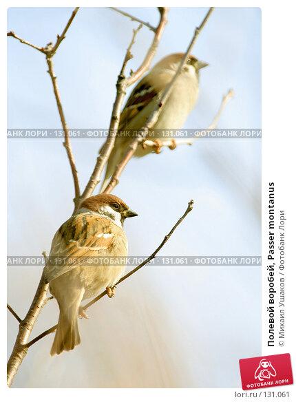 Купить «Полевой воробей, Passer montanus», фото № 131061, снято 26 октября 2007 г. (c) Михаил Ушаков / Фотобанк Лори