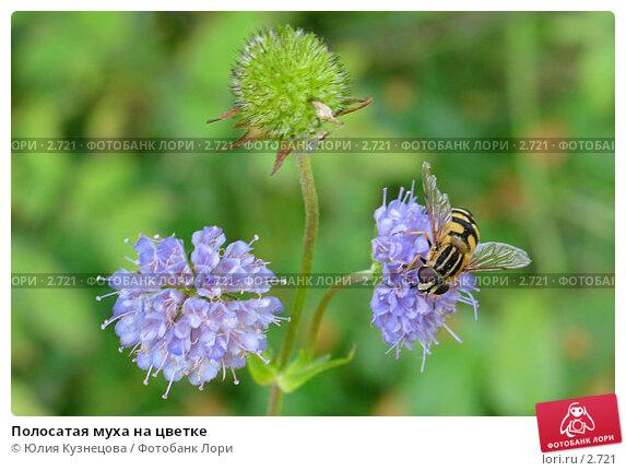 Купить «Полосатая муха на цветке», эксклюзивное фото № 2721, снято 12 сентября 2004 г. (c) Юлия Кузнецова / Фотобанк Лори
