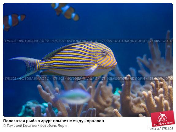 Полосатая рыба-хирург плывет между кораллов, фото № 175605, снято 24 ноября 2007 г. (c) Тимофей Косачев / Фотобанк Лори
