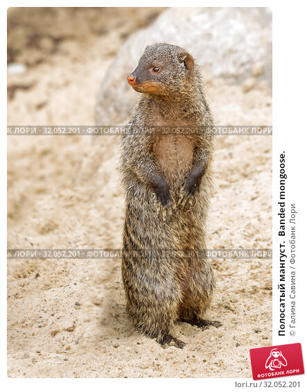 Полосатый мангуст.  Banded mongoose. Стоковое фото, фотограф Галина Савина / Фотобанк Лори