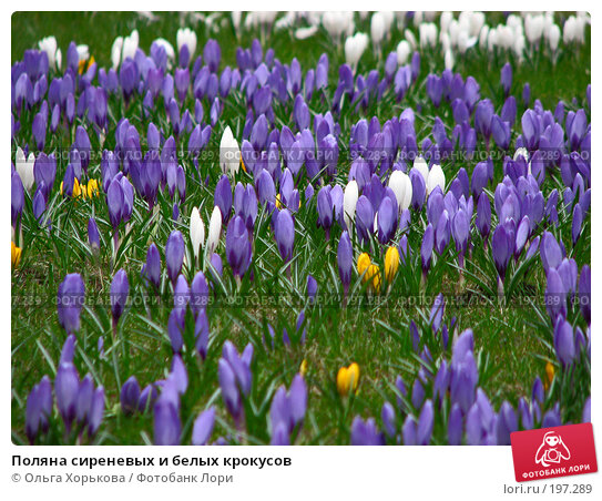 Поляна сиреневых и белых крокусов, фото № 197289, снято 21 апреля 2007 г. (c) Ольга Хорькова / Фотобанк Лори