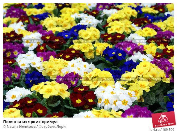 Полянка из ярких примул, эксклюзивное фото № 109509, снято 24 февраля 2007 г. (c) Natalia Nemtseva / Фотобанк Лори