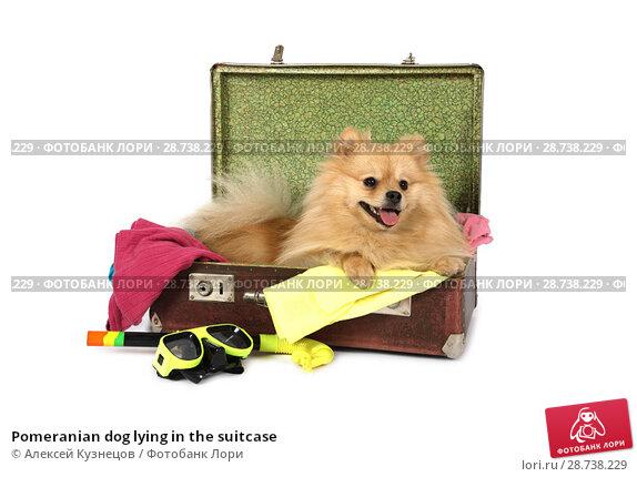 Купить «Pomeranian dog lying in the suitcase», фото № 28738229, снято 26 июня 2018 г. (c) Алексей Кузнецов / Фотобанк Лори