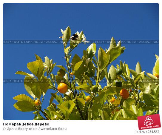 Померанцевое дерево, фото № 234557, снято 5 сентября 2007 г. (c) Ирина Борсученко / Фотобанк Лори