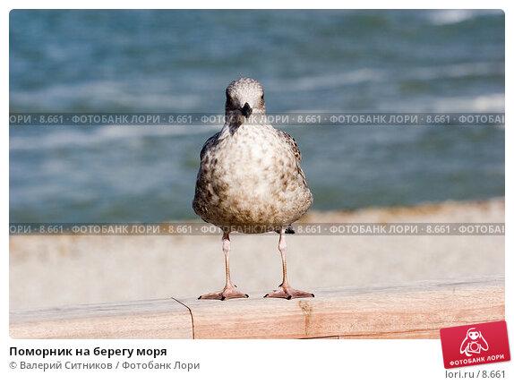 Поморник на берегу моря , фото № 8661, снято 20 октября 2005 г. (c) Валерий Ситников / Фотобанк Лори