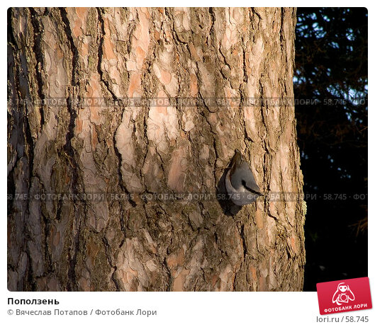 Купить «Поползень», фото № 58745, снято 24 февраля 2007 г. (c) Вячеслав Потапов / Фотобанк Лори