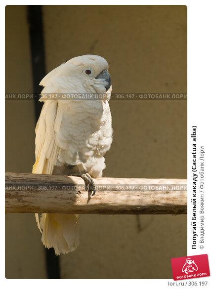 Попугай Белый какаду (Cacatua alba), фото № 306197, снято 17 мая 2008 г. (c) Владимир Воякин / Фотобанк Лори